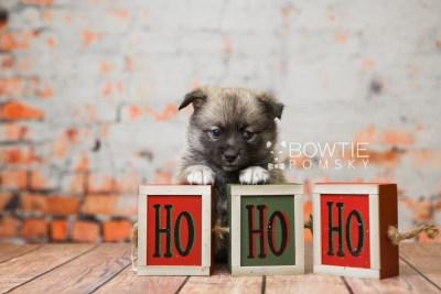 puppy77 week5 BowTiePomsky.com Bowtie Pomsky Puppy For Sale Husky Pomeranian Mini Dog Spokane WA Breeder Blue Eyes Pomskies Celebrity Puppy web4