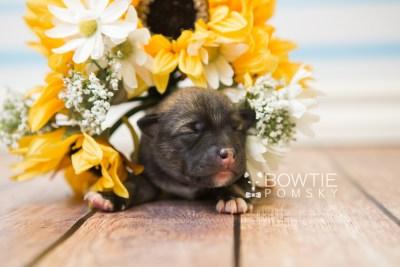 puppy78 week1 BowTiePomsky.com Bowtie Pomsky Puppy For Sale Husky Pomeranian Mini Dog Spokane WA Breeder Blue Eyes Pomskies Celebrity Puppy web2