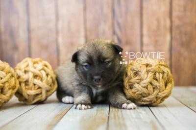 puppy78 week3 BowTiePomsky.com Bowtie Pomsky Puppy For Sale Husky Pomeranian Mini Dog Spokane WA Breeder Blue Eyes Pomskies Celebrity Puppy web3