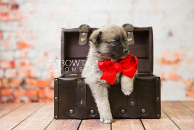 puppy78 week5 BowTiePomsky.com Bowtie Pomsky Puppy For Sale Husky Pomeranian Mini Dog Spokane WA Breeder Blue Eyes Pomskies Celebrity Puppy web1