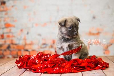 puppy78 week5 BowTiePomsky.com Bowtie Pomsky Puppy For Sale Husky Pomeranian Mini Dog Spokane WA Breeder Blue Eyes Pomskies Celebrity Puppy web4