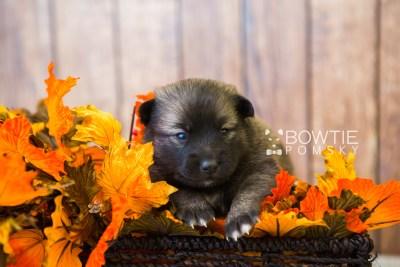 puppy79 week3 BowTiePomsky.com Bowtie Pomsky Puppy For Sale Husky Pomeranian Mini Dog Spokane WA Breeder Blue Eyes Pomskies Celebrity Puppy web2