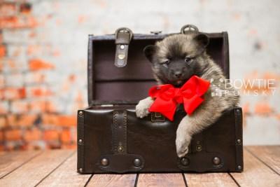 puppy79 week5 BowTiePomsky.com Bowtie Pomsky Puppy For Sale Husky Pomeranian Mini Dog Spokane WA Breeder Blue Eyes Pomskies Celebrity Puppy web1