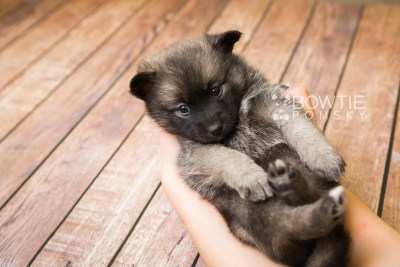 puppy79 week5 BowTiePomsky.com Bowtie Pomsky Puppy For Sale Husky Pomeranian Mini Dog Spokane WA Breeder Blue Eyes Pomskies Celebrity Puppy web6