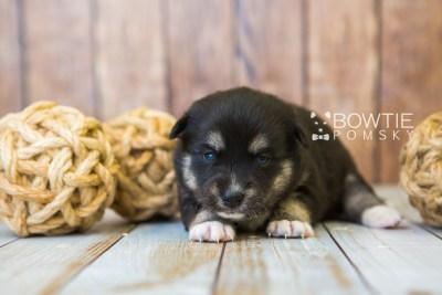 puppy80 week3 BowTiePomsky.com Bowtie Pomsky Puppy For Sale Husky Pomeranian Mini Dog Spokane WA Breeder Blue Eyes Pomskies Celebrity Puppy web5