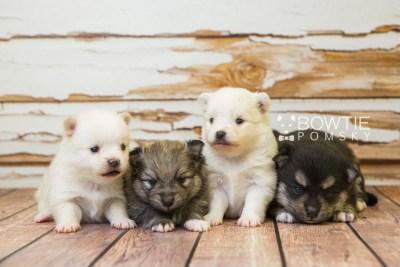 puppy81-84 week3 BowTiePomsky.com Bowtie Pomsky Puppy For Sale Husky Pomeranian Mini Dog Spokane WA Breeder Blue Eyes Pomskies Celebrity Puppy web