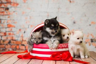 puppy81-84 week5 BowTiePomsky.com Bowtie Pomsky Puppy For Sale Husky Pomeranian Mini Dog Spokane WA Breeder Blue Eyes Pomskies Celebrity Puppy web1