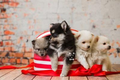 puppy81-84 week5 BowTiePomsky.com Bowtie Pomsky Puppy For Sale Husky Pomeranian Mini Dog Spokane WA Breeder Blue Eyes Pomskies Celebrity Puppy web2