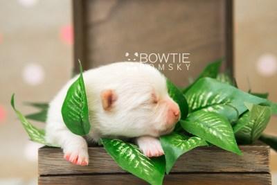 puppy81 week1 BowTiePomsky.com Bowtie Pomsky Puppy For Sale Husky Pomeranian Mini Dog Spokane WA Breeder Blue Eyes Pomskies Celebrity Puppy web2