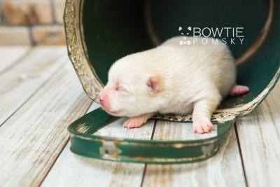 puppy81 week1 BowTiePomsky.com Bowtie Pomsky Puppy For Sale Husky Pomeranian Mini Dog Spokane WA Breeder Blue Eyes Pomskies Celebrity Puppy web6