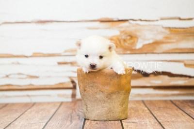 puppy81 week3 BowTiePomsky.com Bowtie Pomsky Puppy For Sale Husky Pomeranian Mini Dog Spokane WA Breeder Blue Eyes Pomskies Celebrity Puppy web1