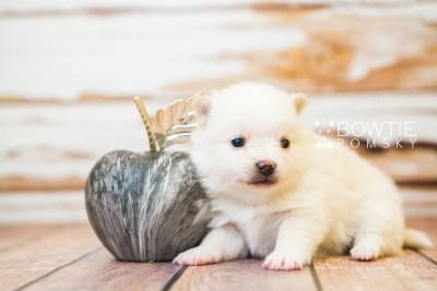 puppy81 week3 BowTiePomsky.com Bowtie Pomsky Puppy For Sale Husky Pomeranian Mini Dog Spokane WA Breeder Blue Eyes Pomskies Celebrity Puppy web3