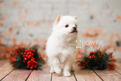 puppy81 week5 BowTiePomsky.com Bowtie Pomsky Puppy For Sale Husky Pomeranian Mini Dog Spokane WA Breeder Blue Eyes Pomskies Celebrity Puppy web3