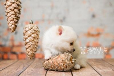 puppy81 week5 BowTiePomsky.com Bowtie Pomsky Puppy For Sale Husky Pomeranian Mini Dog Spokane WA Breeder Blue Eyes Pomskies Celebrity Puppy web4