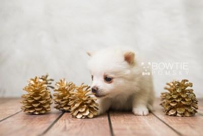 puppy81 week5 BowTiePomsky.com Bowtie Pomsky Puppy For Sale Husky Pomeranian Mini Dog Spokane WA Breeder Blue Eyes Pomskies Celebrity Puppy web5