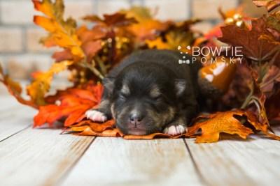 puppy82 week1 BowTiePomsky.com Bowtie Pomsky Puppy For Sale Husky Pomeranian Mini Dog Spokane WA Breeder Blue Eyes Pomskies Celebrity Puppy web3