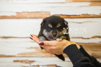 puppy82 week3 BowTiePomsky.com Bowtie Pomsky Puppy For Sale Husky Pomeranian Mini Dog Spokane WA Breeder Blue Eyes Pomskies Celebrity Puppy web1