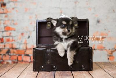 puppy82 week5 BowTiePomsky.com Bowtie Pomsky Puppy For Sale Husky Pomeranian Mini Dog Spokane WA Breeder Blue Eyes Pomskies Celebrity Puppy web1
