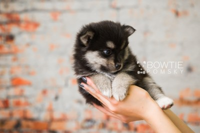 puppy82 week5 BowTiePomsky.com Bowtie Pomsky Puppy For Sale Husky Pomeranian Mini Dog Spokane WA Breeder Blue Eyes Pomskies Celebrity Puppy web4
