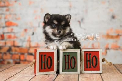 puppy82 week5 BowTiePomsky.com Bowtie Pomsky Puppy For Sale Husky Pomeranian Mini Dog Spokane WA Breeder Blue Eyes Pomskies Celebrity Puppy web6