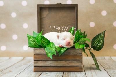 puppy83 week1 BowTiePomsky.com Bowtie Pomsky Puppy For Sale Husky Pomeranian Mini Dog Spokane WA Breeder Blue Eyes Pomskies Celebrity Puppy web1