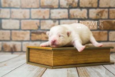 puppy83 week1 BowTiePomsky.com Bowtie Pomsky Puppy For Sale Husky Pomeranian Mini Dog Spokane WA Breeder Blue Eyes Pomskies Celebrity Puppy web3