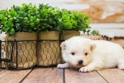 puppy83 week3 BowTiePomsky.com Bowtie Pomsky Puppy For Sale Husky Pomeranian Mini Dog Spokane WA Breeder Blue Eyes Pomskies Celebrity Puppy web3