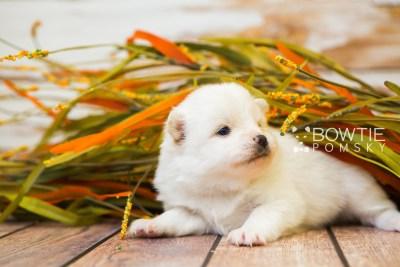 puppy83 week3 BowTiePomsky.com Bowtie Pomsky Puppy For Sale Husky Pomeranian Mini Dog Spokane WA Breeder Blue Eyes Pomskies Celebrity Puppy web5