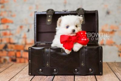 puppy83 week5 BowTiePomsky.com Bowtie Pomsky Puppy For Sale Husky Pomeranian Mini Dog Spokane WA Breeder Blue Eyes Pomskies Celebrity Puppy web3