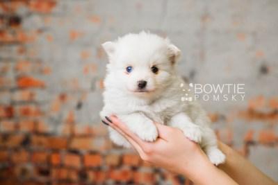 puppy83 week5 BowTiePomsky.com Bowtie Pomsky Puppy For Sale Husky Pomeranian Mini Dog Spokane WA Breeder Blue Eyes Pomskies Celebrity Puppy web4