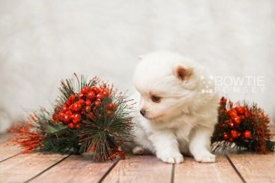 puppy83 week5 BowTiePomsky.com Bowtie Pomsky Puppy For Sale Husky Pomeranian Mini Dog Spokane WA Breeder Blue Eyes Pomskies Celebrity Puppy web5