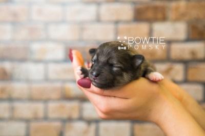 puppy84 week1 BowTiePomsky.com Bowtie Pomsky Puppy For Sale Husky Pomeranian Mini Dog Spokane WA Breeder Blue Eyes Pomskies Celebrity Puppy web1