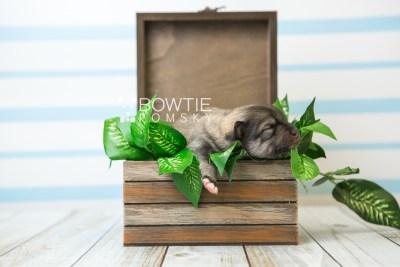 puppy84 week1 BowTiePomsky.com Bowtie Pomsky Puppy For Sale Husky Pomeranian Mini Dog Spokane WA Breeder Blue Eyes Pomskies Celebrity Puppy web5