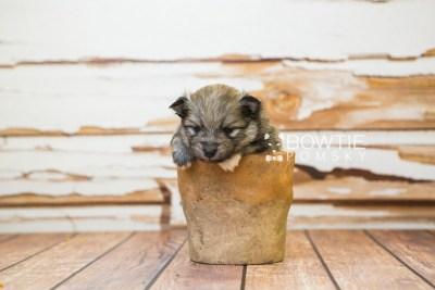 puppy84 week3 BowTiePomsky.com Bowtie Pomsky Puppy For Sale Husky Pomeranian Mini Dog Spokane WA Breeder Blue Eyes Pomskies Celebrity Puppy web3
