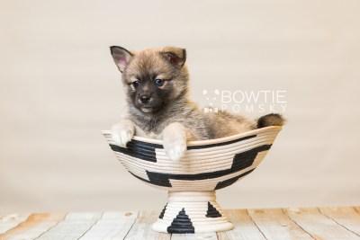 puppy77 week7 BowTiePomsky.com Bowtie Pomsky Puppy For Sale Husky Pomeranian Mini Dog Spokane WA Breeder Blue Eyes Pomskies Celebrity Puppy web3