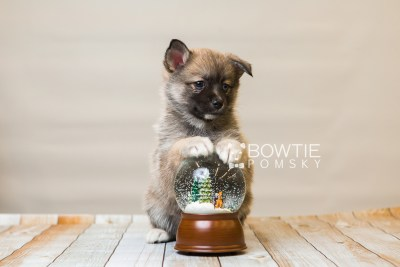puppy77 week7 BowTiePomsky.com Bowtie Pomsky Puppy For Sale Husky Pomeranian Mini Dog Spokane WA Breeder Blue Eyes Pomskies Celebrity Puppy web6