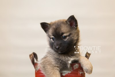 puppy79 week7 BowTiePomsky.com Bowtie Pomsky Puppy For Sale Husky Pomeranian Mini Dog Spokane WA Breeder Blue Eyes Pomskies Celebrity Puppy web1
