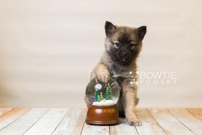 puppy79 week7 BowTiePomsky.com Bowtie Pomsky Puppy For Sale Husky Pomeranian Mini Dog Spokane WA Breeder Blue Eyes Pomskies Celebrity Puppy web2