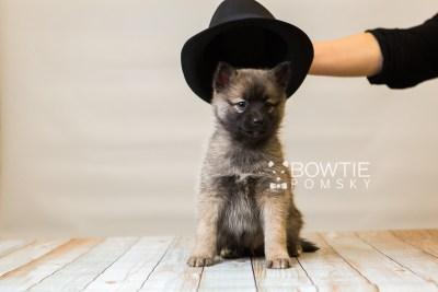 puppy79 week7 BowTiePomsky.com Bowtie Pomsky Puppy For Sale Husky Pomeranian Mini Dog Spokane WA Breeder Blue Eyes Pomskies Celebrity Puppy web4