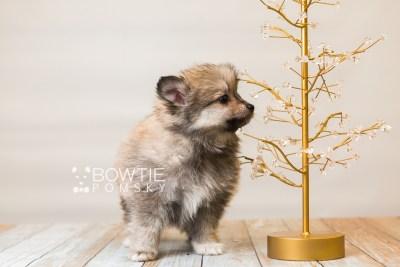puppy84 week7 BowTiePomsky.com Bowtie Pomsky Puppy For Sale Husky Pomeranian Mini Dog Spokane WA Breeder Blue Eyes Pomskies Celebrity Puppy web4