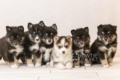 puppy85-90 week5 BowTiePomsky.com Bowtie Pomsky Puppy For Sale Husky Pomeranian Mini Dog Spokane WA Breeder Blue Eyes Pomskies Celebrity Puppy web1
