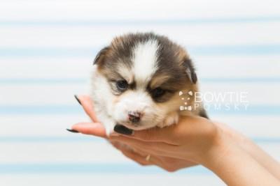 puppy85 week3 BowTiePomsky.com Bowtie Pomsky Puppy For Sale Husky Pomeranian Mini Dog Spokane WA Breeder Blue Eyes Pomskies Celebrity Puppy web1