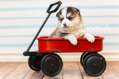 puppy85 week3 BowTiePomsky.com Bowtie Pomsky Puppy For Sale Husky Pomeranian Mini Dog Spokane WA Breeder Blue Eyes Pomskies Celebrity Puppy web5