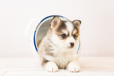 puppy85 week5 BowTiePomsky.com Bowtie Pomsky Puppy For Sale Husky Pomeranian Mini Dog Spokane WA Breeder Blue Eyes Pomskies Celebrity Puppy web3
