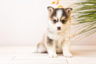 puppy85 week5 BowTiePomsky.com Bowtie Pomsky Puppy For Sale Husky Pomeranian Mini Dog Spokane WA Breeder Blue Eyes Pomskies Celebrity Puppy web4