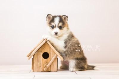 puppy85 week5 BowTiePomsky.com Bowtie Pomsky Puppy For Sale Husky Pomeranian Mini Dog Spokane WA Breeder Blue Eyes Pomskies Celebrity Puppy web5