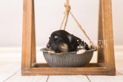puppy86 week1 BowTiePomsky.com Bowtie Pomsky Puppy For Sale Husky Pomeranian Mini Dog Spokane WA Breeder Blue Eyes Pomskies Celebrity Puppy web4