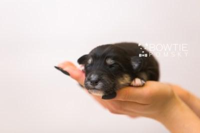 puppy86 week1 BowTiePomsky.com Bowtie Pomsky Puppy For Sale Husky Pomeranian Mini Dog Spokane WA Breeder Blue Eyes Pomskies Celebrity Puppy web6