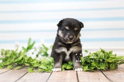 puppy86 week3 BowTiePomsky.com Bowtie Pomsky Puppy For Sale Husky Pomeranian Mini Dog Spokane WA Breeder Blue Eyes Pomskies Celebrity Puppy web3