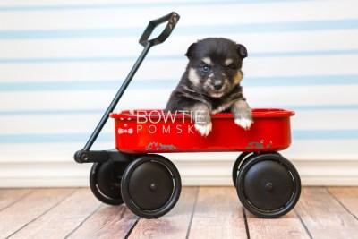 puppy86 week3 BowTiePomsky.com Bowtie Pomsky Puppy For Sale Husky Pomeranian Mini Dog Spokane WA Breeder Blue Eyes Pomskies Celebrity Puppy web5